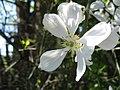 Poncirus trifoliata 090425 03.jpg