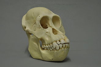 Bornean orangutan - The skull