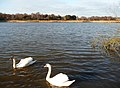 Poole , Hatch Pond and Swans - geograph.org.uk - 1766533.jpg