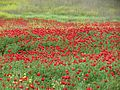 Poppies in Kfar Nin, Israel 01.jpg