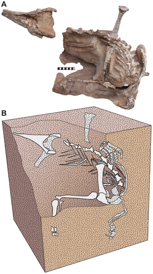Seitaad - Fossils in the position they were found