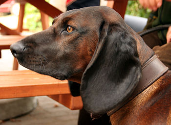 Bavarian Mountain Hound Deutsch: Bayrischer Ge...