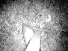 Night camera shows video of an opossum considering a bagel before walking away