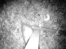 File:Possum rejects bagel.webm