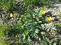 Potentilla anserina (subsp. anserina) sl14.jpg