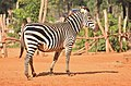 Pregnant Zebra on th ered soil.jpg