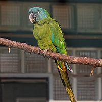 Primolius couloni -captive-8a-3cp