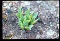 Primula cusickiana plant in SW Idaho.jpg