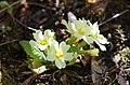 Primula vulgaris (6985420301).jpg