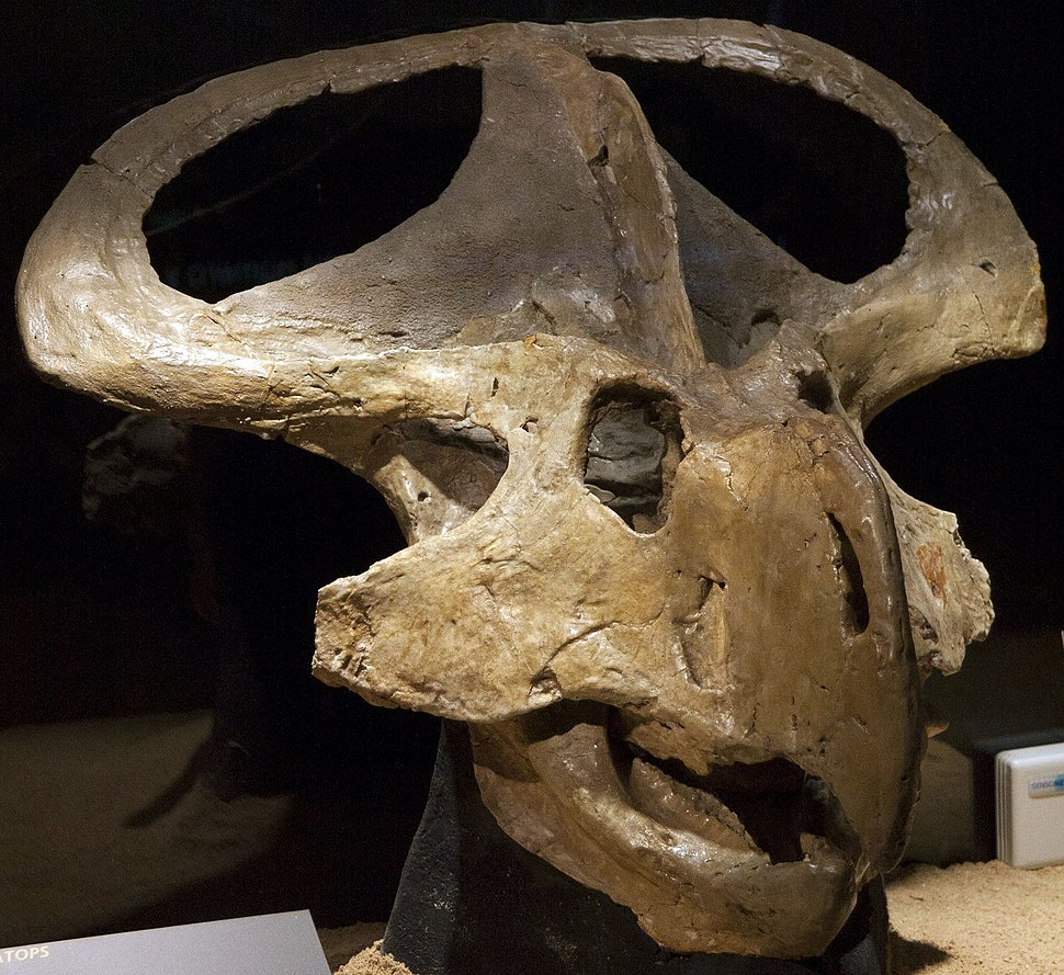 Protoceratops andrewsi (1)