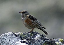 Prunella collaris Pyrenees.jpg