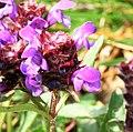 Prunella vulgaris ENBLA02.jpg