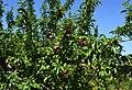 Prunera amb fruits als Miralbons, Gata.jpg