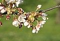 Prunus avium01.jpg