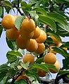 Prunus domestica2.jpg