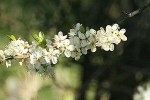 Greengage - Prunus domestica subsp. italica flowers