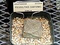 Pseudolithos cubiformis - University of California Botanical Garden - DSC08854.JPG