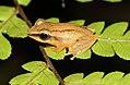 Pseudophilautus tanu.jpg