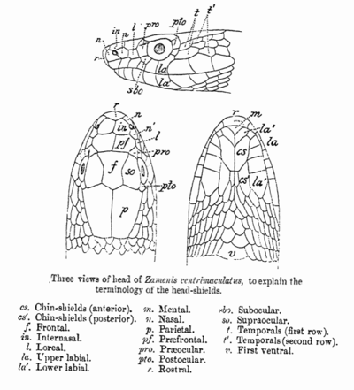 A line diagram from G.A. Boulenger's Fauna of British India (1890) illustrating the terminology of shields on the head of a snake