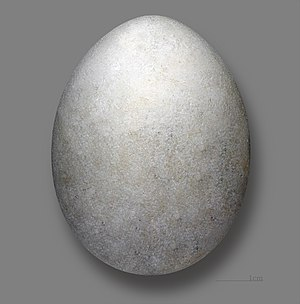Yelkouan shearwater - Egg of Yelkouan shearwater