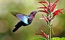 Purple-throated carib hummingbird feeding.jpg