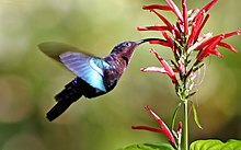 Hummingbird - Wikipedia