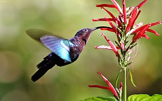 Coevolution - Purple-throated carib feeding from and pollinating a flower