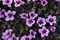 Purple Saxifrage - Saxifraga oppositifolia - panoramio (4).jpg