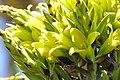 Puya chilensis Zapallar 07.jpg