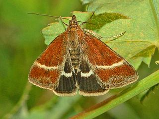 <i>Loxostege fascialis</i> Species of moth
