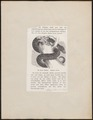 Python curtus - 1700-1880 - Print - Iconographia Zoologica - Special Collections University of Amsterdam - UBA01 IZ11800207.tif