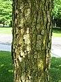 QuercusLyrataBark.jpg