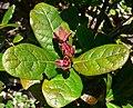 Quercus costaricensis 3.jpg