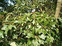 Quercus ilicifolia Leaves BotGardBln0906
