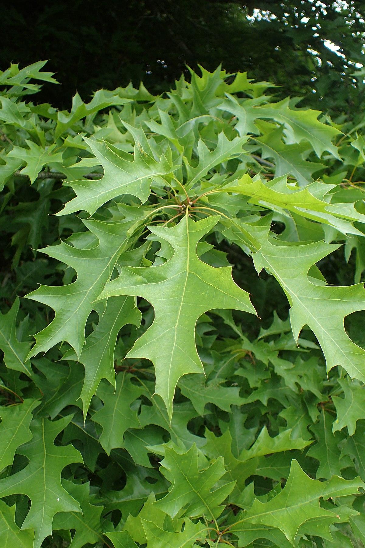 Quercus texana - Wikipedia