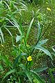 RanunculusLingua.jpg