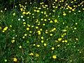 Ranunculus bulbosus 002.JPG