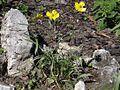 Ranunculus illyricus OB10.jpg