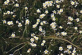 Ranunculus penicillatus k1.jpg