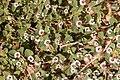 Rattlesnake Weed (5642639670).jpg