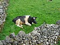 Recumbent Cow - geograph.org.uk - 434813.jpg