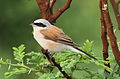 Red-backed shrike, Lanius collurio at at Pilanesberg National Park, Northwest Province, South Africa - male (16401568363).jpg