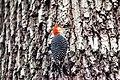 Red-bellied woodpecker (19359647781).jpg