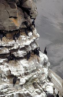 Red-faced Cormorant Colony BNWR.jpg