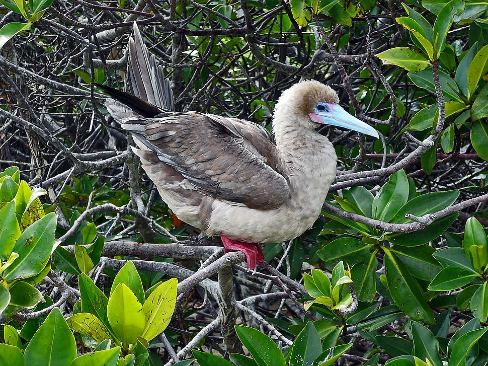 Red-footed Booby (Sula sula) -Galápagos