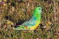 Red-rumped Parrot (Psephotus haematonotus) (8079610997).jpg