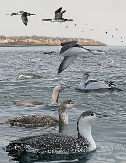 Red-throated Loon From The Crossley ID Guide Eastern Birds