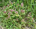 Red Dead nettle 700.jpg