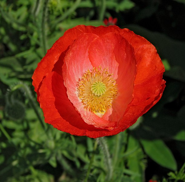 File:Red Poppy Papaver Flower Center 2104px.jpg