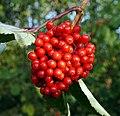 Red berries 6.jpg